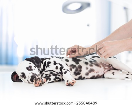 clinical dog examination by veterinary doctor with stethoscope - stock photo