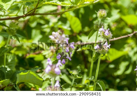 Clinopodium vulgare, herb - stock photo