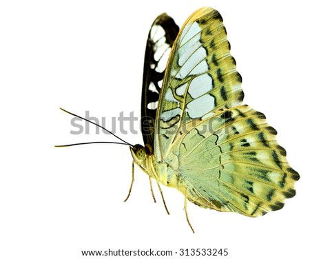 Clipper Butterfly (Nymphalidae, Parthenos sylvia) the beautiful flying pale green buttefly on white background