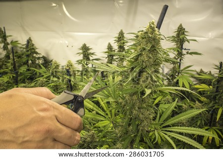 Clipping Indoor Marijuana Plant with Scissors - stock photo