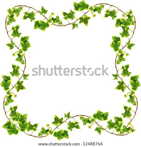 Clipping path. Green ivy isolated on white background - stock photo