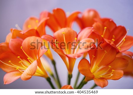 Clivia, closeup of the flowers - stock photo