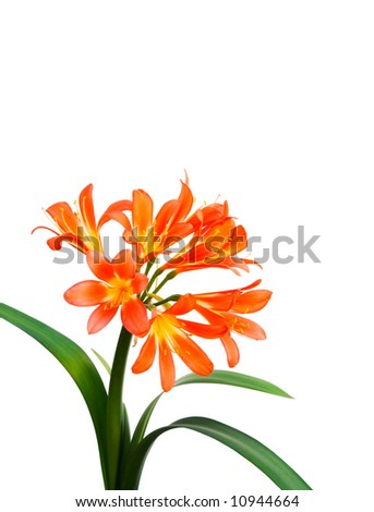 Clivia flowers on a white background. - stock photo