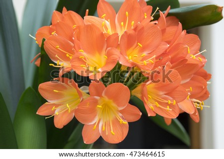 Clivia miniata, Natal lily, bush lily, Kaffir lily in bloom