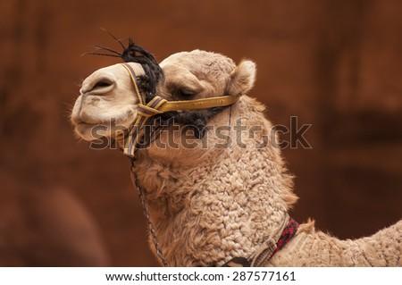 Cloase up of a Camel's head in Petra Jordan - stock photo