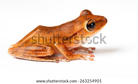 Cloeeup species of a small green frog, Isolated over white - stock photo