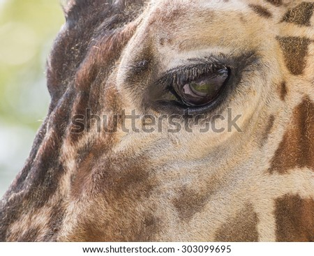 Cloesup shot of a giraffe's eye and face - stock photo