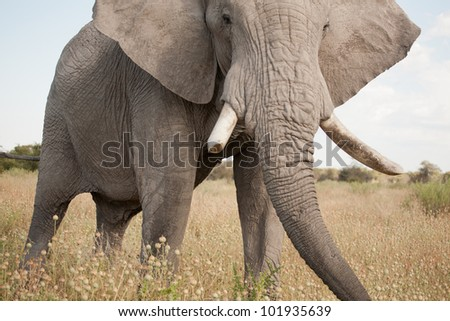 Close elephant - stock photo
