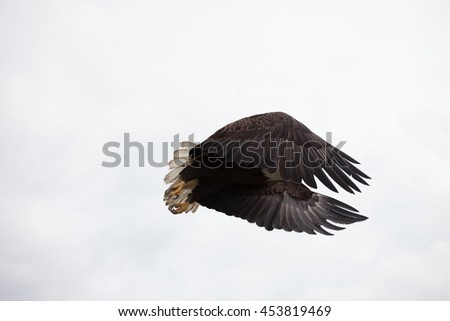 Close Encounter Bald Eagle Flying Alaska