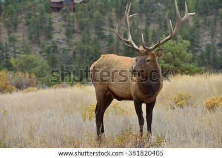 Close Encounter - Full body view of a strong mature bull elk in close range.