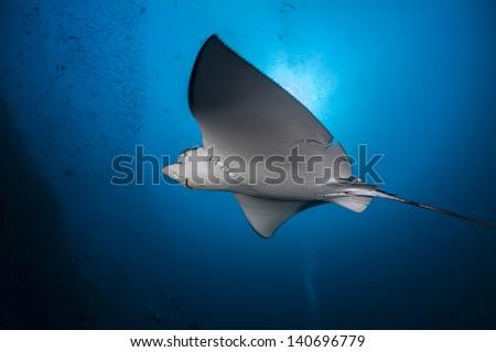 Close encounter when diving in maldives indian ocean - stock photo