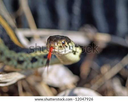 Close encounter with a garter snake - stock photo