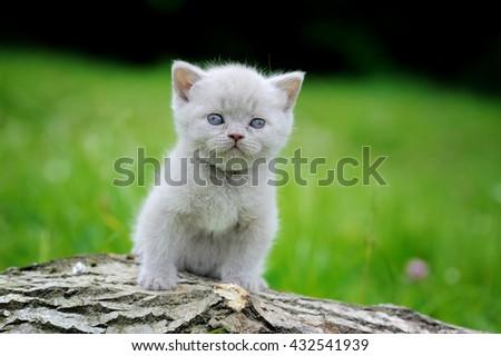 Close gray kitten on nature. Cute baby kitten on tree  - stock photo