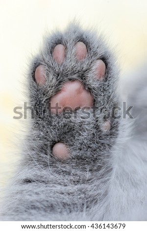 Close gray little kitten paw. Baby cat foot - stock photo