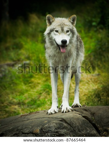 Close image of a wild, Eastern Gray Timber Wolf (Canis lupus) Standing atop a large stone ledge. - stock photo