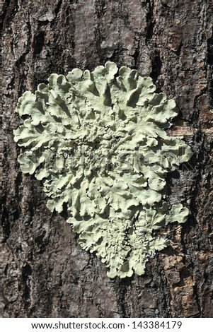 close look of lichens on tree bark - stock photo