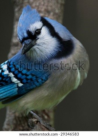 Close of a Blue-Jay