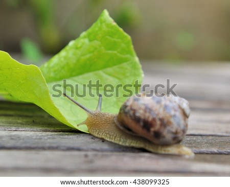 close on a snail on a lettuce leaf  - stock photo