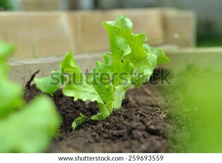 close on a young lettuce plant in the soil in patch  - stock photo