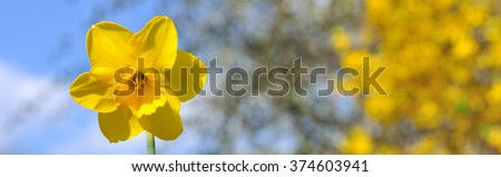close on daffodils on yellow  blossom garden background - stock photo