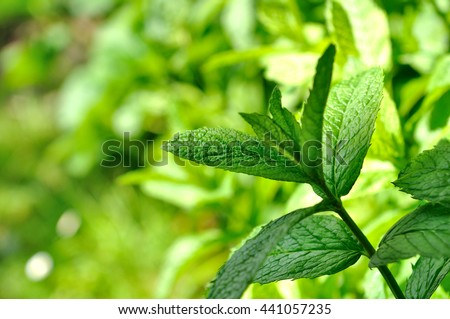close on green leave of mint in garden  - stock photo