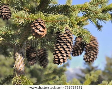 close on pice cones  in a fir
