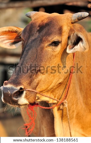 Close p cow face. - stock photo