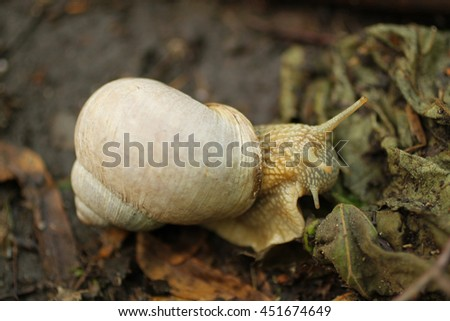 close photo of edible snail (Helix pomatia) eating a leaf