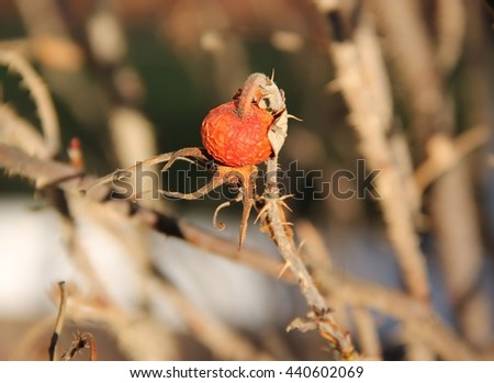 close photo of sear fruit of common medlar - stock photo