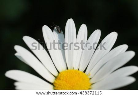 close photo of tiny insect on petals of daisy wheel - stock photo