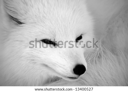 Close picture of an Arctic Fox in B&W - stock photo