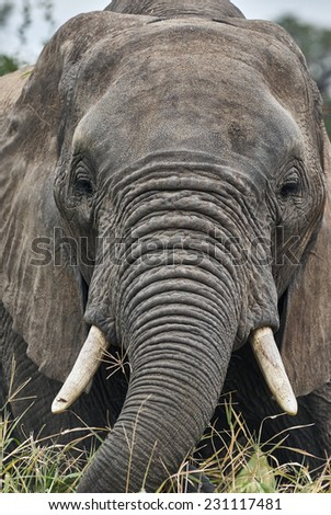 Close portrait of an elephant that picks up grass to eat