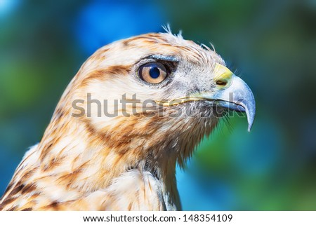 Close portrait of Red-tailed Hawk (Buteo Jamaicensis)