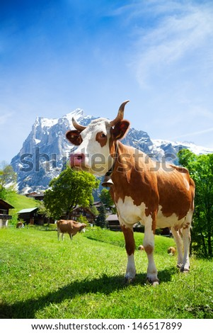 Close shoot of cow standing in the mountain pasture in Switzerland - stock photo