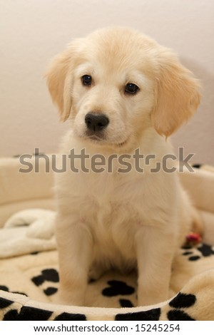 Close shot of a Golden Retriever puppy in a spotted dog bed. - stock photo
