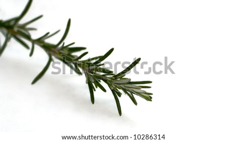 Close shot of a rosemary sprig over white background - stock photo