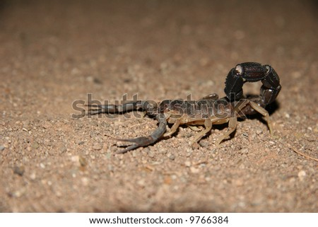 Close shot of a scorpion on a brown soil. Namibia. Africa - stock photo