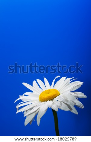 Close shot of a white daisy isolated on a blue background.