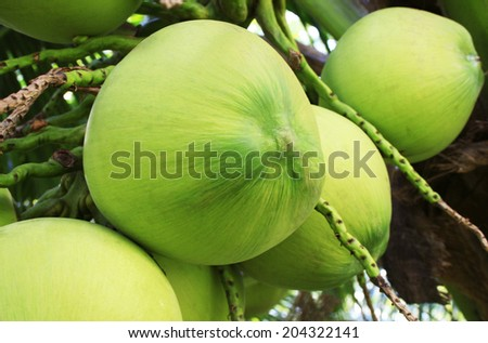 Close Up a Bunch of Green Coconut at Tree - stock photo