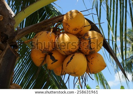 Close up a bunch of yellow coconut on tree. - stock photo