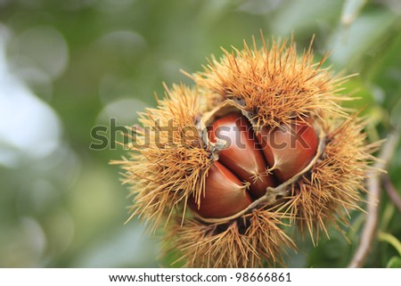 close up a Chestnut  in autuwn