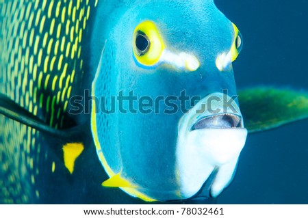 Close up a large French Angelfish in blue water. - stock photo