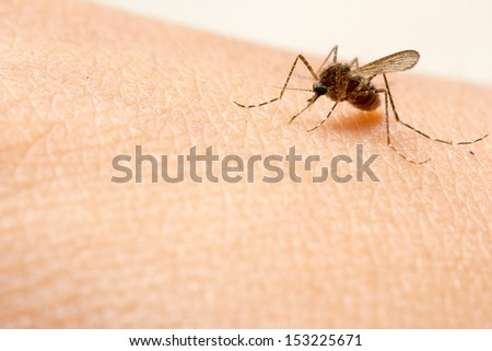 close up a mosquito sucking human blood macro photo with copy space - stock photo