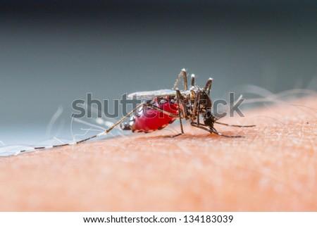 Close up a Mosquito sucking human blood_set B-2 - stock photo