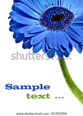 Close up abstract of a blue Gerbera daisy on a white background with space for text - stock photo