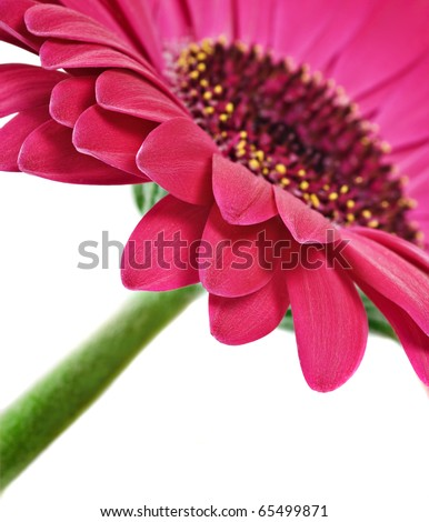 Close up abstract of one  pink daisy gerbera on a white background - stock photo