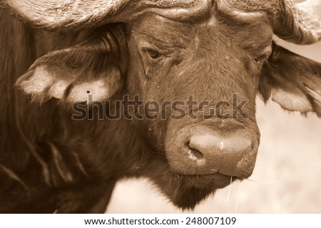 Close up,abstract portrait of cape buffalo head and horn - stock photo