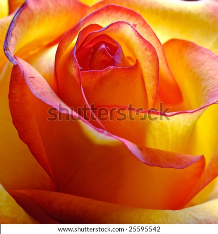 close-up abstract yellow beautiful rose - stock photo
