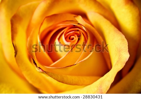 close-up abstract yellow beautiful rose