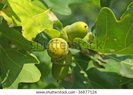 Close-up acorns on the oak-tree - stock photo